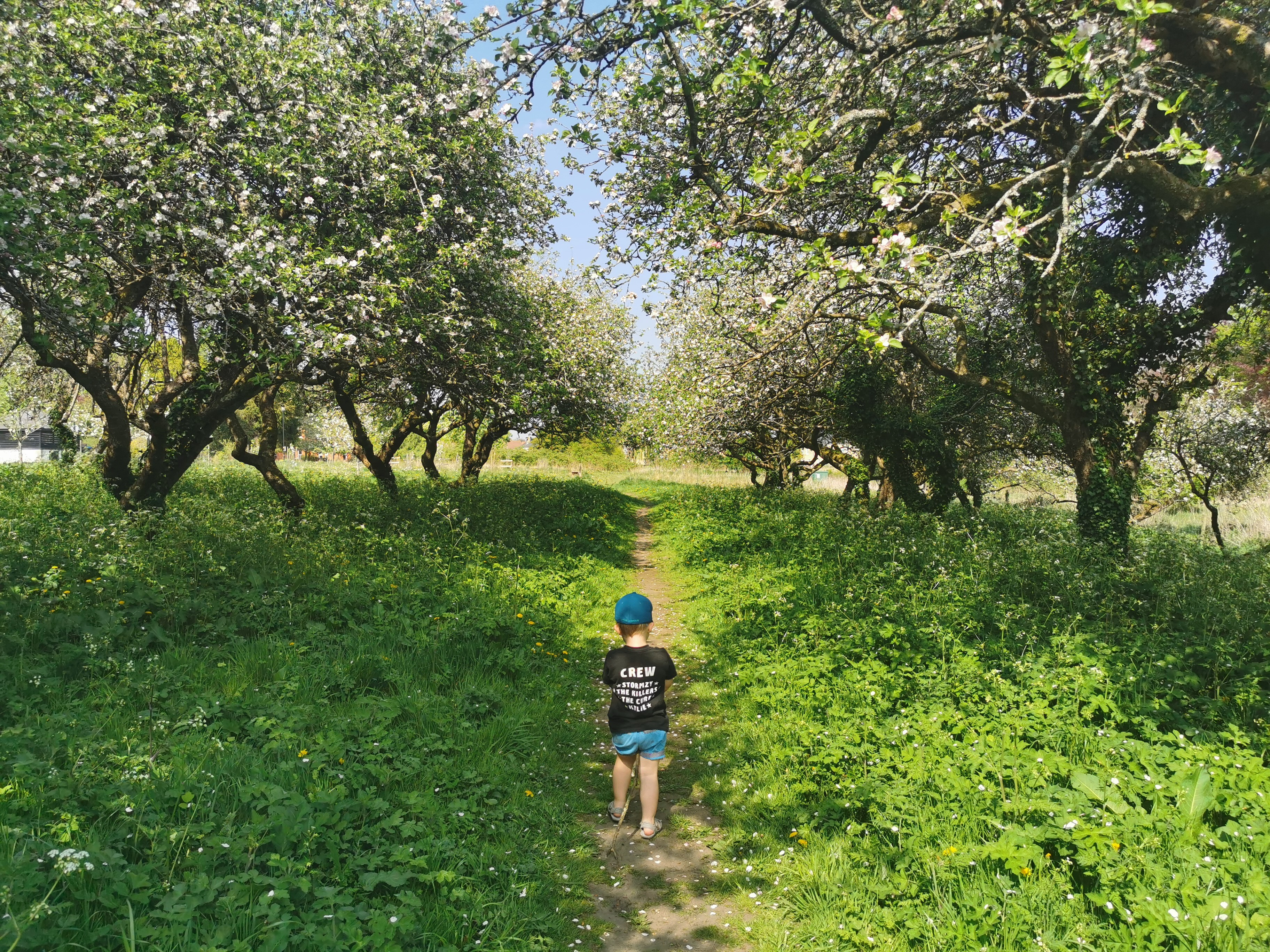 child walking in flowering orchard
